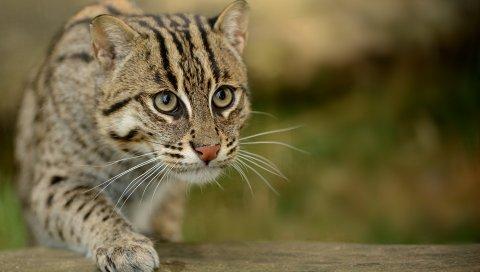 кошки, кошки рыбалка, пятнистая кошка, взгляд