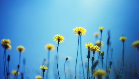 одуванчики, цветы, размытость,фон