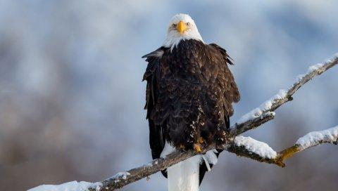 орел, стервятник, ветка, снег, птица