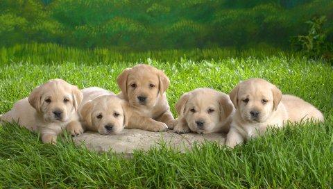 Лабрадор, щенки, трава, собаки