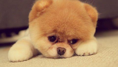 Померанский, собака, порода, лицо, нос, глаза, уши, ноги
