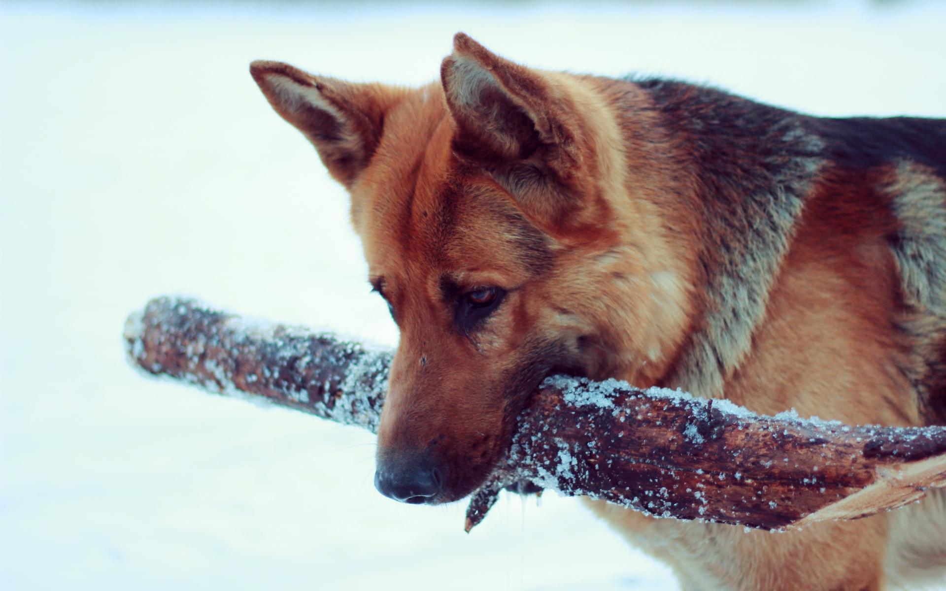 Картинки Снег, собака, немецкая овчарка фото и обои на рабочий стол