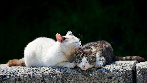 Кошки, пара, нежность, забота, весна
