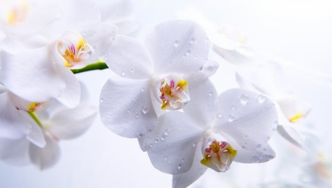 орхидеи, цветы, бутоны, белые, лепестки, макро