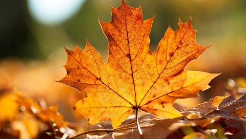 клен, листья, прожилки