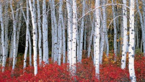 деревья, береза, природа