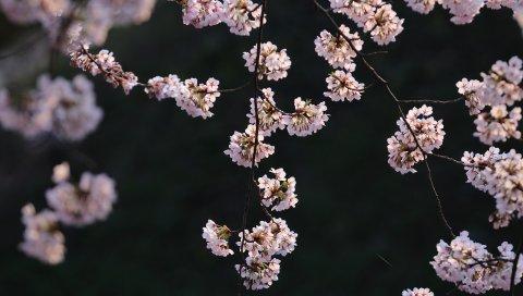 ветка, весна, цветы, растения