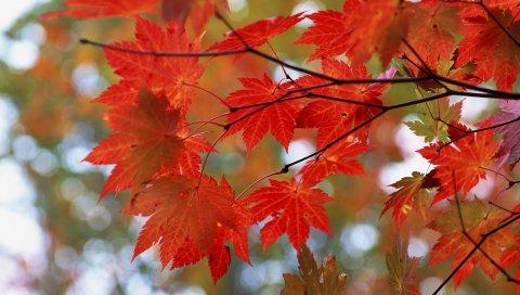 листья, дерево, красный, ветка