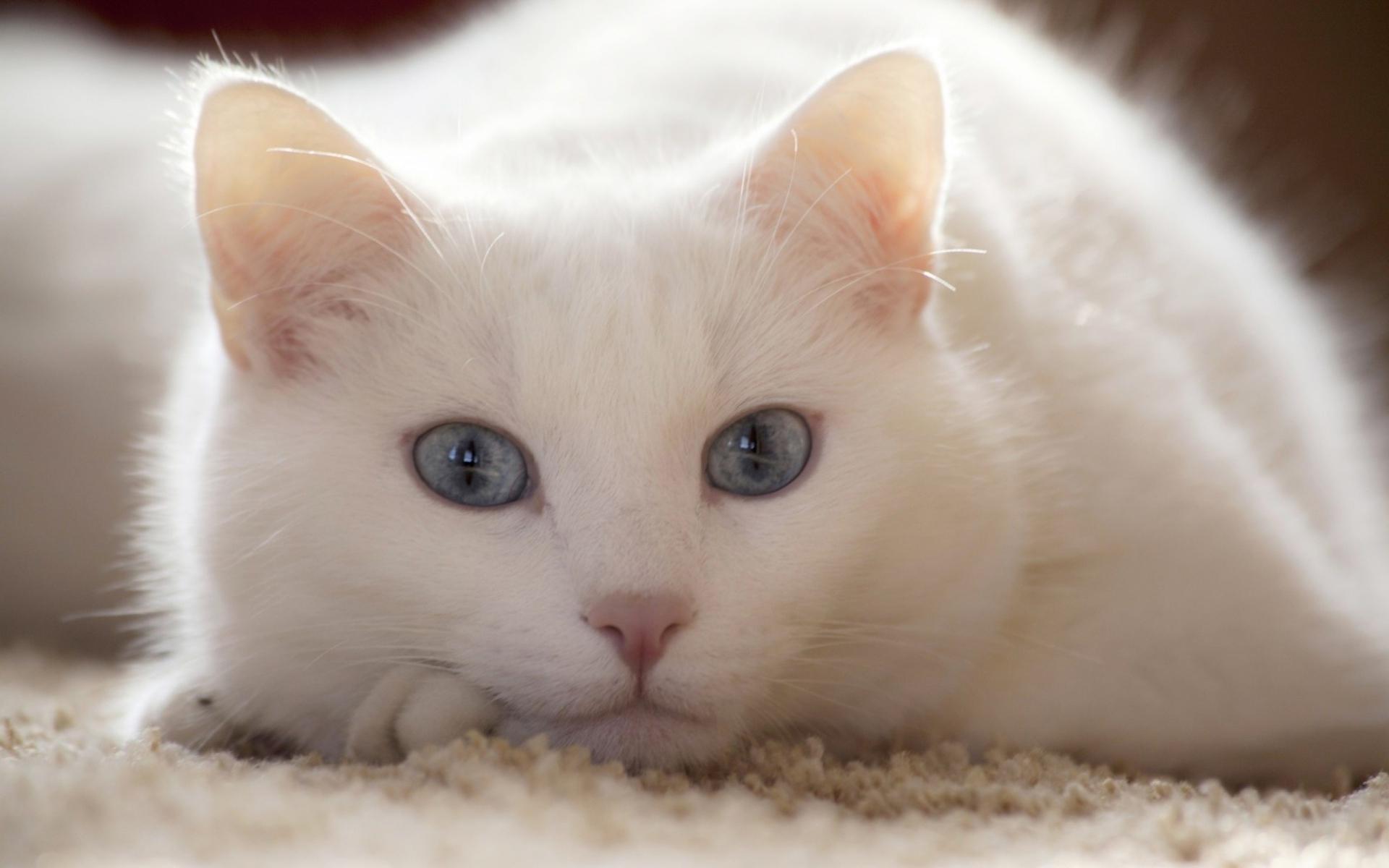 Картинки кошка, белый, ложь, светлые фото и обои на рабочий стол