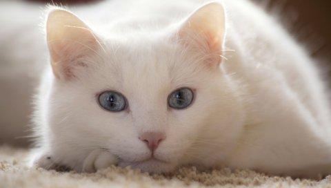 кошка, белый, ложь, светлые
