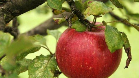 яблоко, филиал, спелые, листья