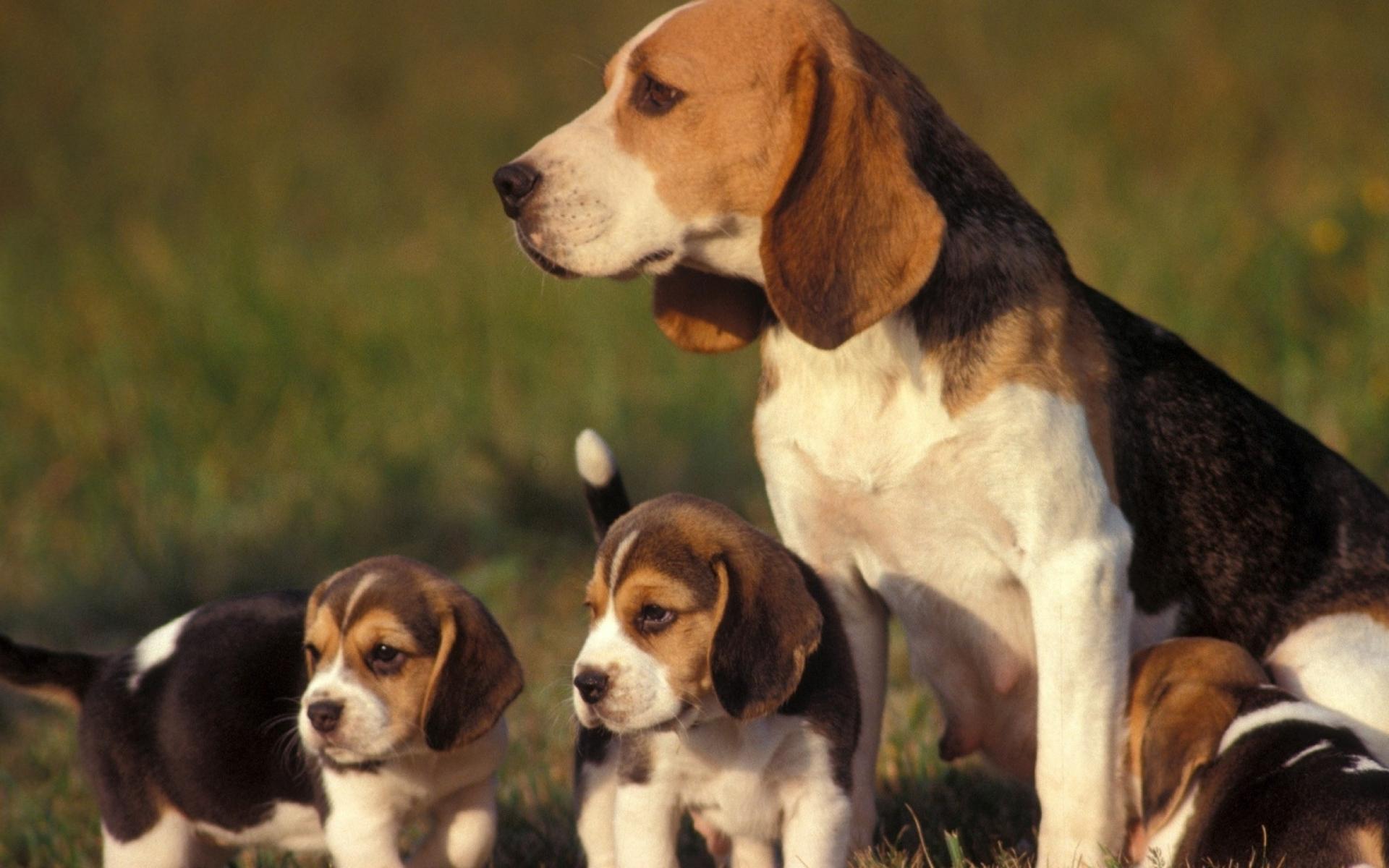 картинки щенков и собак бигля мебельную