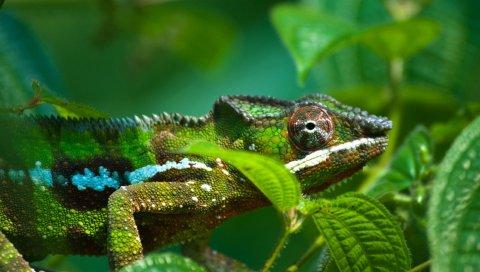 хамелеоны, листья, шишки, ноги, глаза