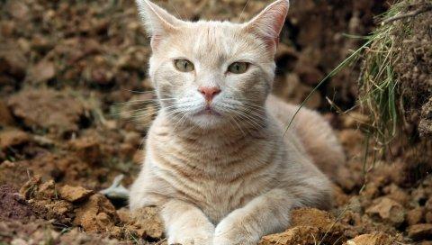 кошка, морда, глаза