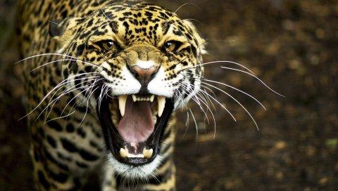 ягуар, лицо, зубы, агрессия