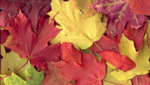 клен, листья, осенние