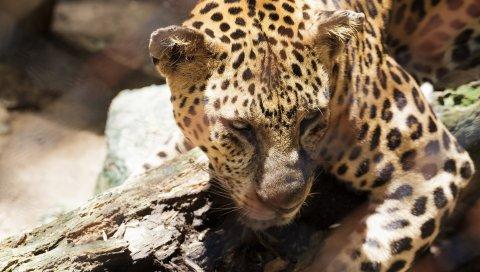 гепарда, лицо, глаза, печаль