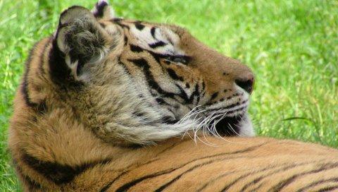 тигр, лицо, трава, лежать