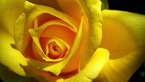 роза, желтый, бутон, лепестки