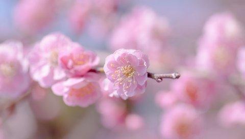 цветок, весна, растения, лепестки, розовый
