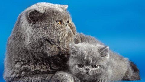кошки, пара, котенок, фон