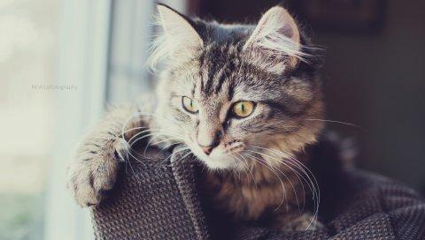кот, пушистый, лицо, глаза