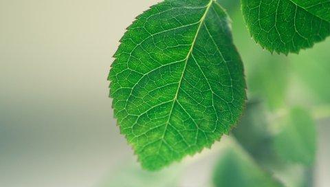 лист, фон, зеленый, макро