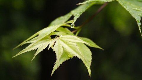 листья, размытость, фон, крупным планом