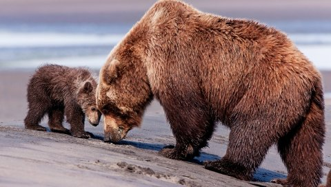 медведи, пара, ребенок