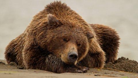 медведь, мокрый,лежали