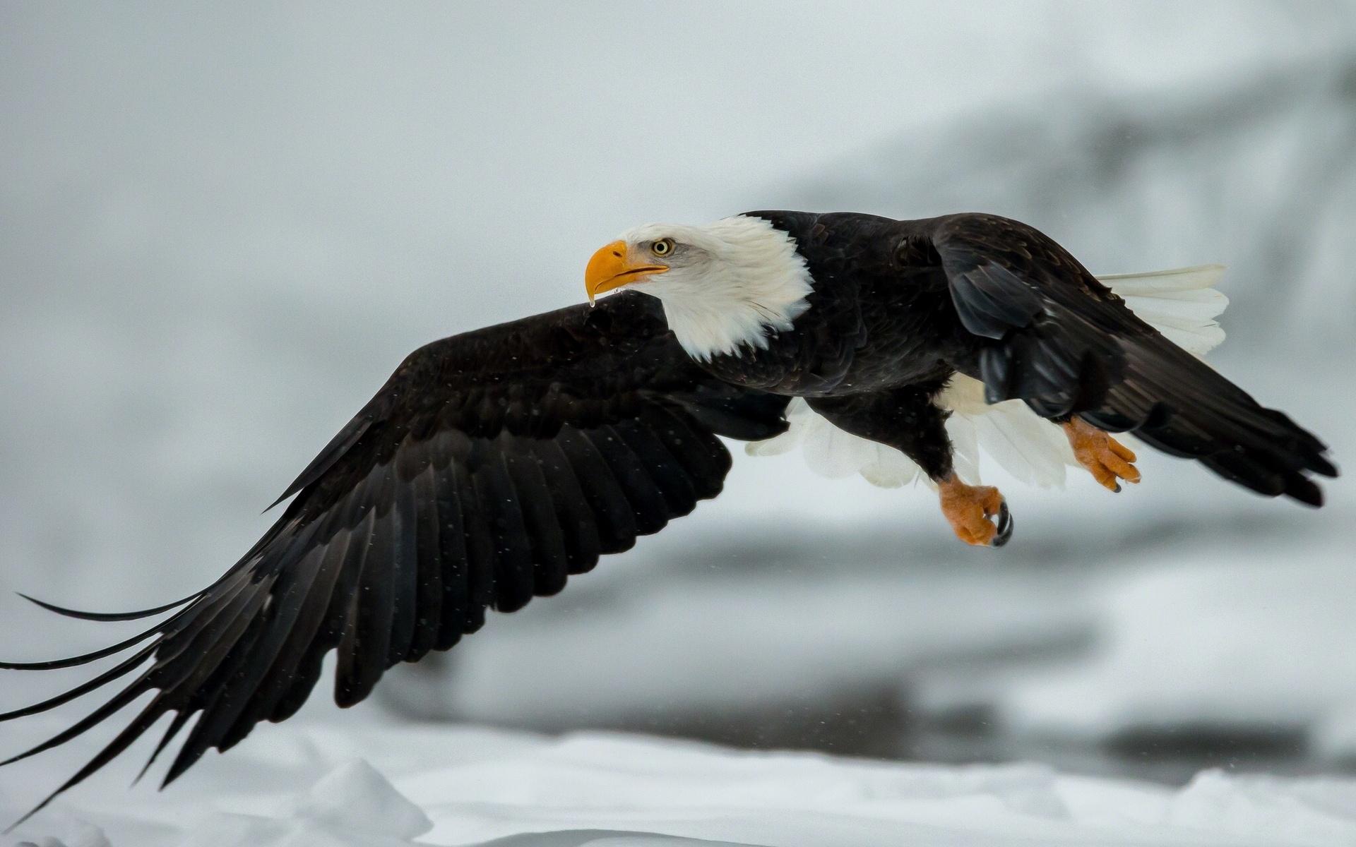 орел фото птицы в полете хорошим
