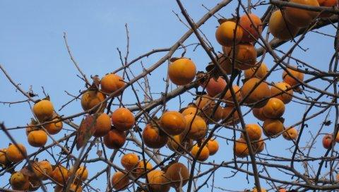 хурмы, дерево, ветви, небо, фрукты