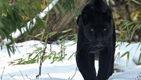 пантера, ходить, снег, зима, хищник, большая кошка