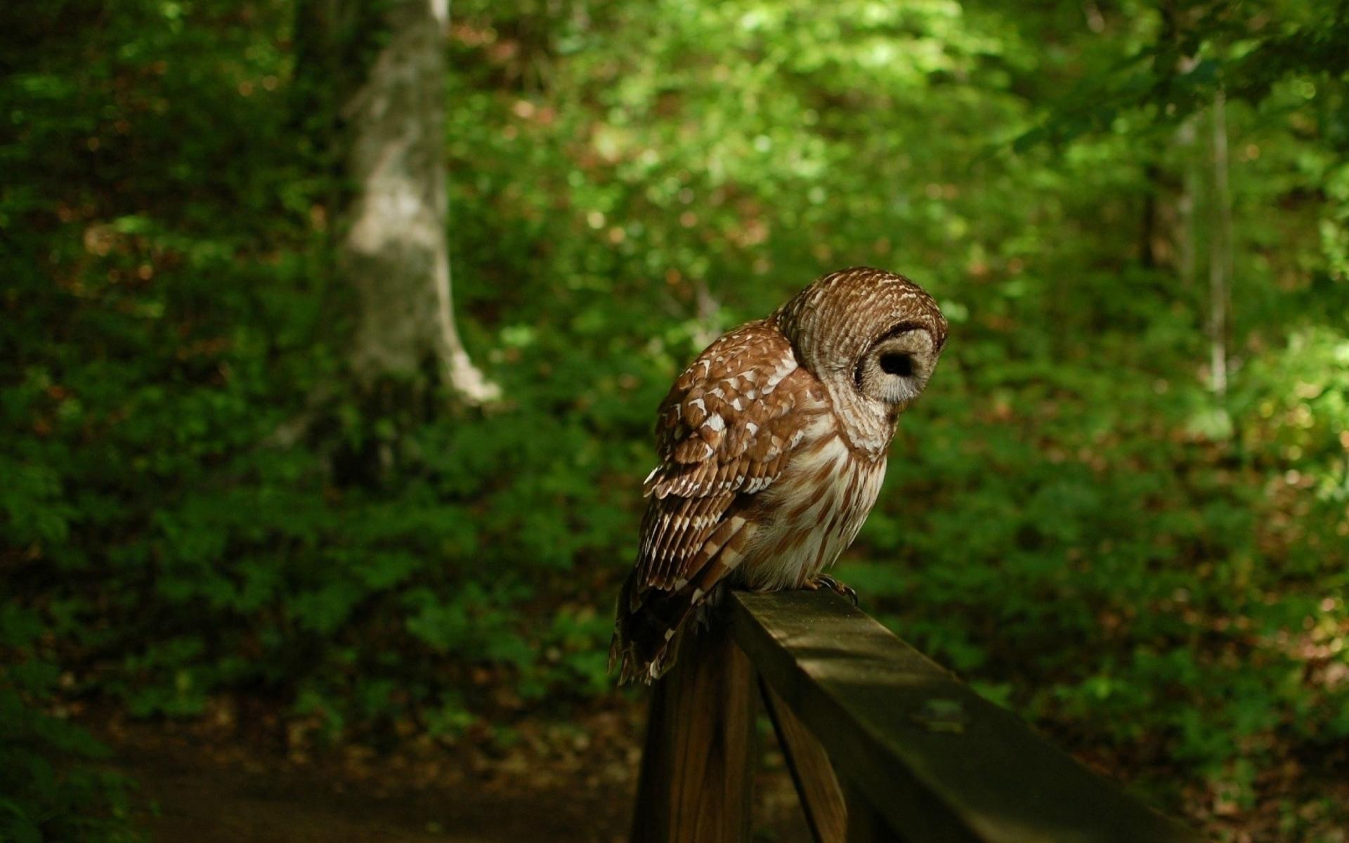 Картинки сова, птица, хищник, лес фото и обои на рабочий стол
