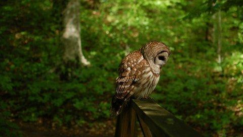сова, птица, хищник, лес