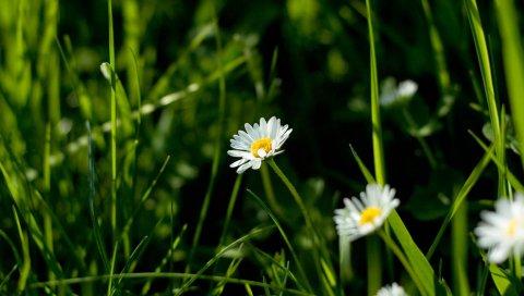 ромашки, цветы, растения, трава