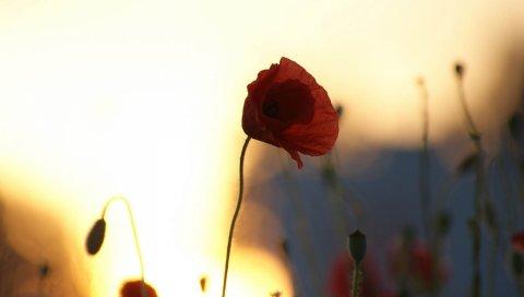 мак, цветок, свет, тень