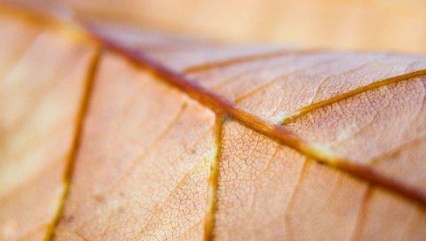 лист, вены, макро
