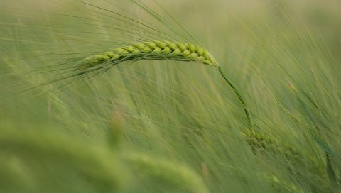 ухо, кукуруза, трава, ветер