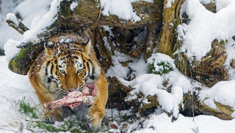 тигр, снег, мясо, продукты питания, добыча