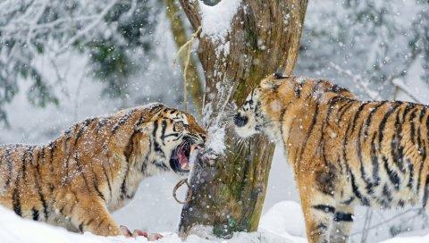 тигры, пара, снег, агрессия, борьба