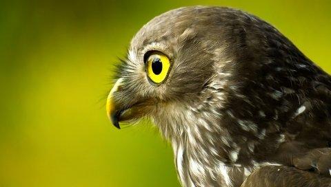 птица, добыча, клюв, глаз