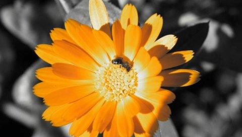 цветок, насекомое, лепестки
