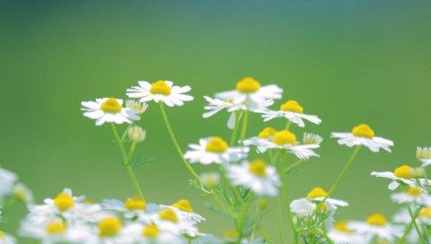ромашки, цветы, лепестки,размывание