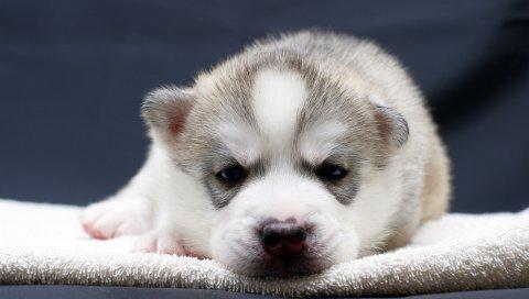 щенок, морда, глаза