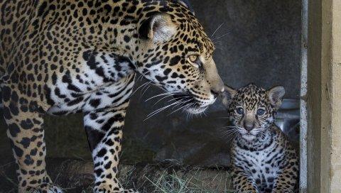 ягуара, Cub, мать, уход