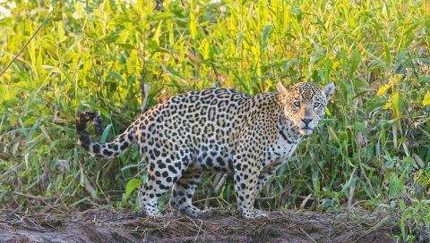 ягуар, трава, прогулки, хищник