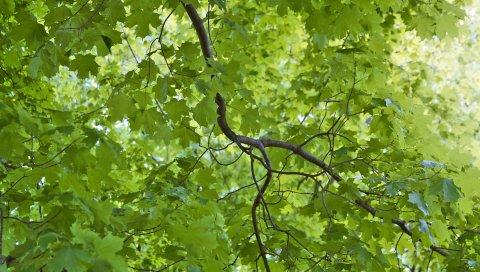 ветви, листья, природа, зеленый