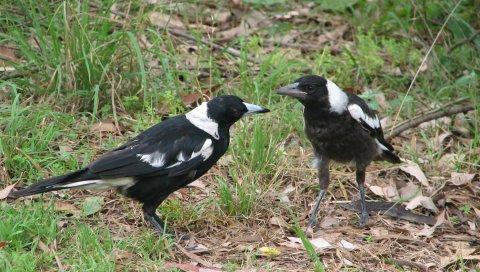 птицы, пара, трава