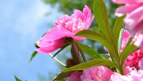 Цветы, растения, розовые, лепестки, бутоны
